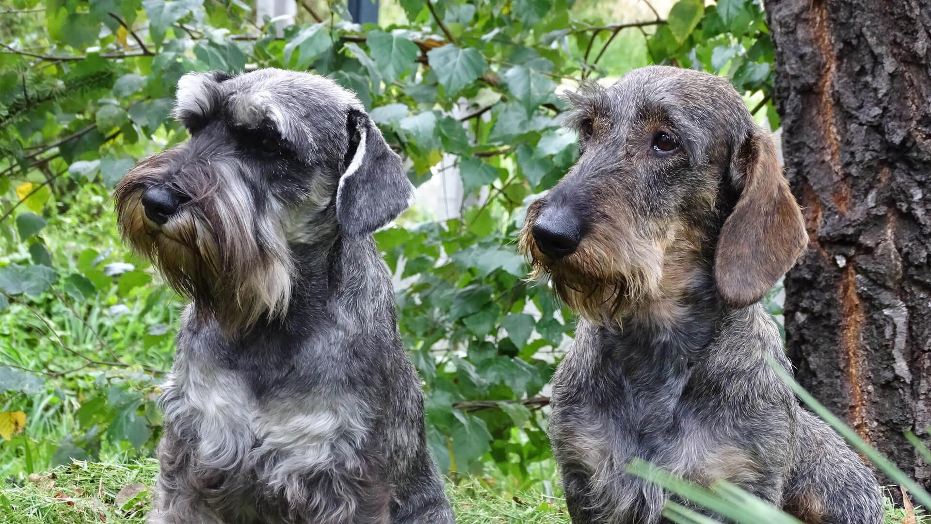 Jamniki i Sznaucery Bielańska Dzicz – hodowla psów Bielany